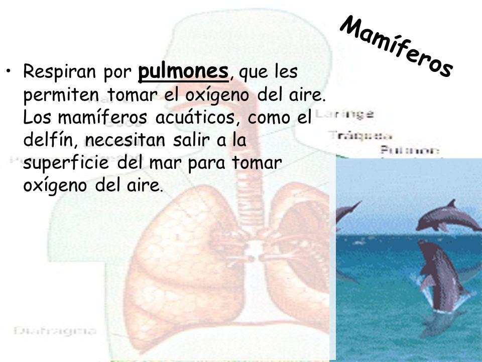 Respiran por pulmones, que les permiten tomar el oxígeno del aire