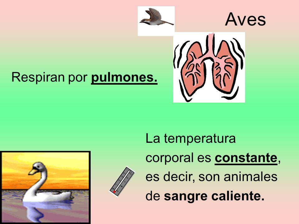Aves Respiran por pulmones. La temperatura corporal es constante,