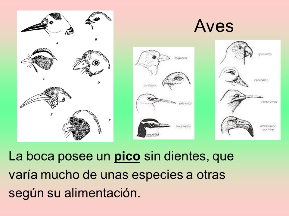 Aves La boca posee un pico sin dientes, que