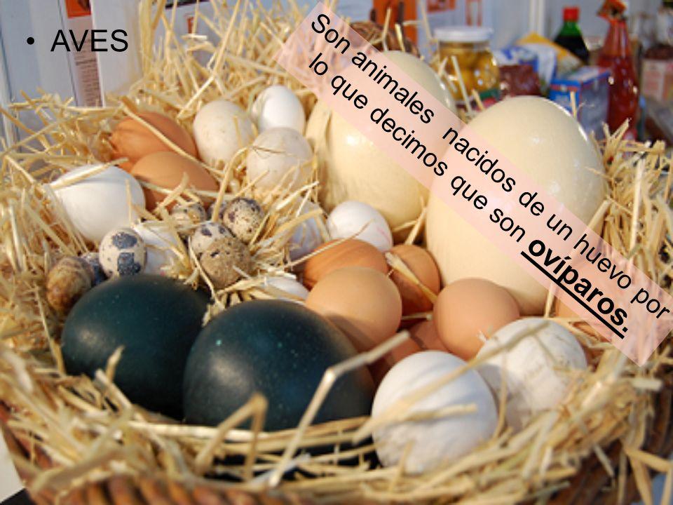 AVES Son animales nacidos de un huevo por lo que decimos que son ovíparos.