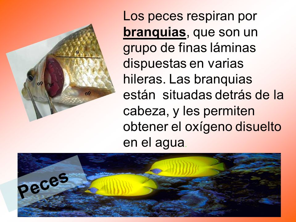 Los peces respiran por branquias, que son un grupo de finas láminas dispuestas en varias hileras. Las branquias están situadas detrás de la cabeza, y les permiten obtener el oxígeno disuelto en el agua.
