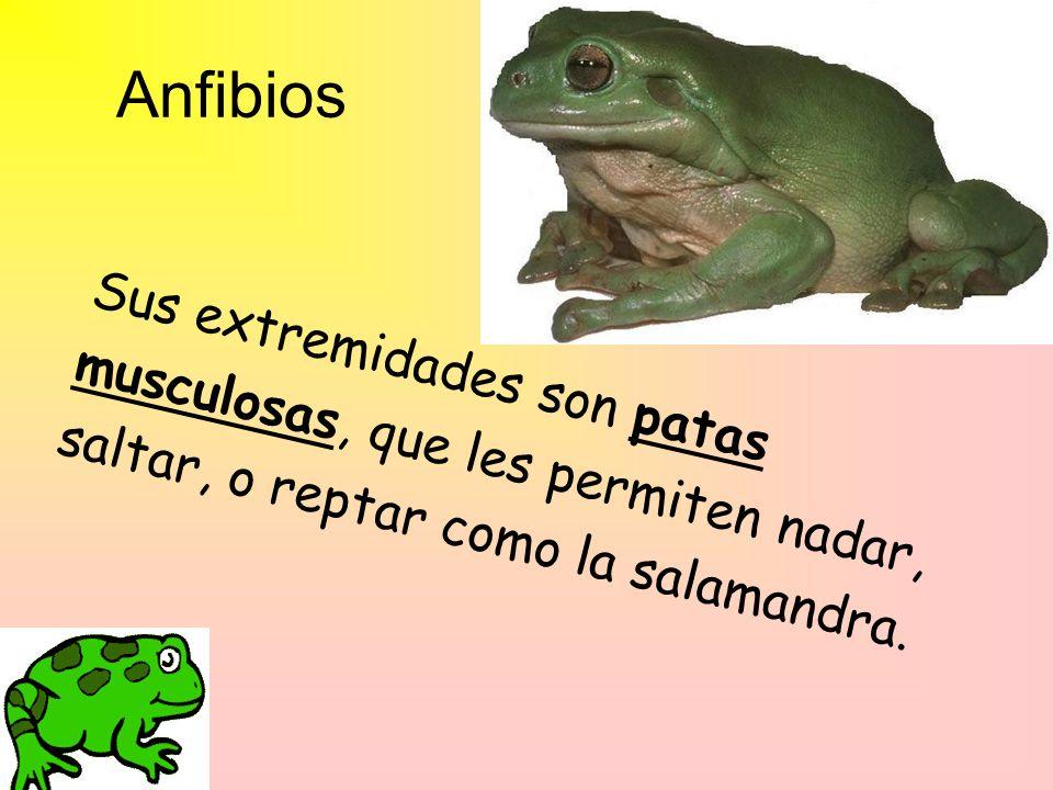 Anfibios Sus extremidades son patas