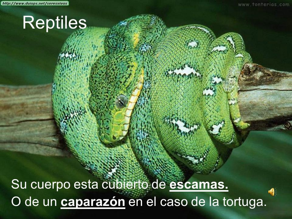 Reptiles Su cuerpo esta cubierto de escamas.