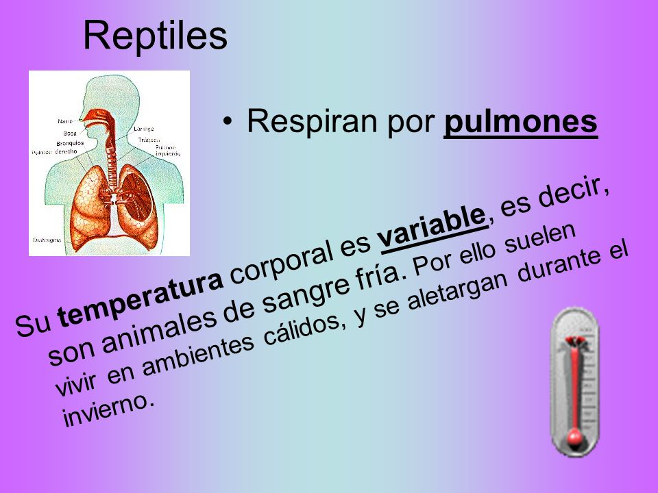 Reptiles Respiran por pulmones
