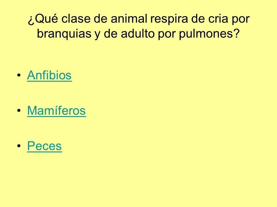 ¿Qué clase de animal respira de cria por branquias y de adulto por pulmones