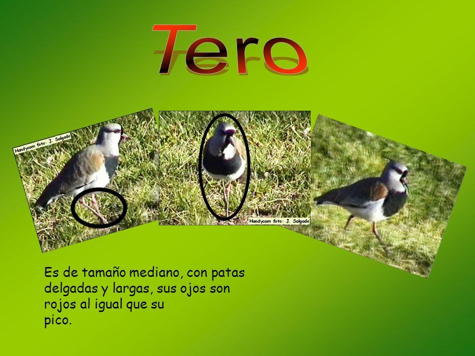 Tero Es de tamaño mediano, con patas delgadas y largas, sus ojos son rojos al igual que su pico.