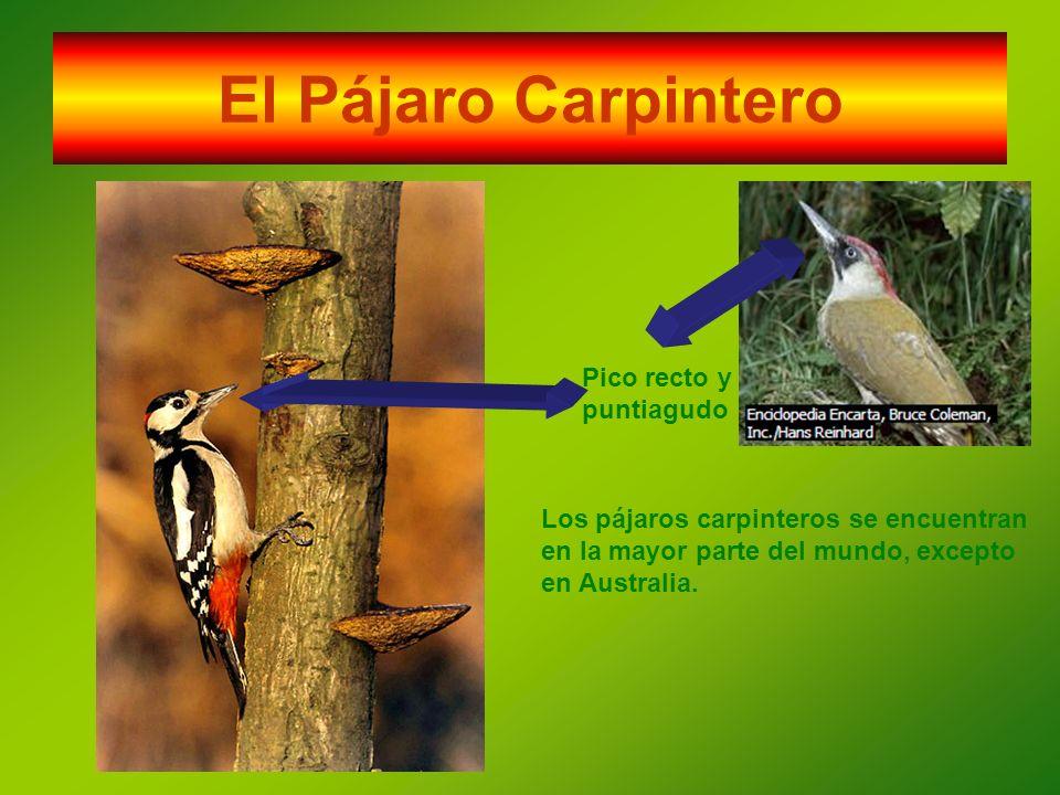 El Pájaro Carpintero Pico recto y puntiagudo