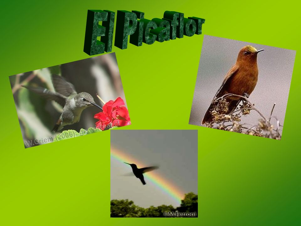 El Picaflor