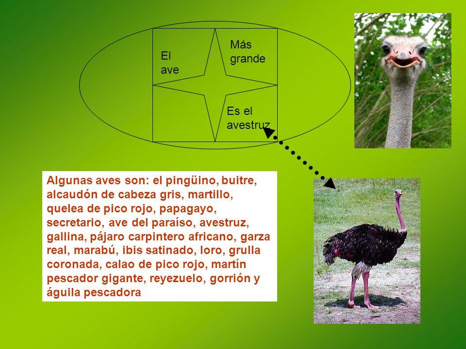 Más grande El ave. Es el avestruz.
