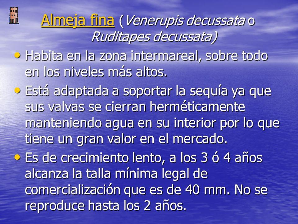 Almeja fina (Venerupis decussata o Ruditapes decussata)