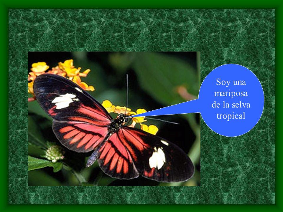 Soy una mariposa de la selva tropical