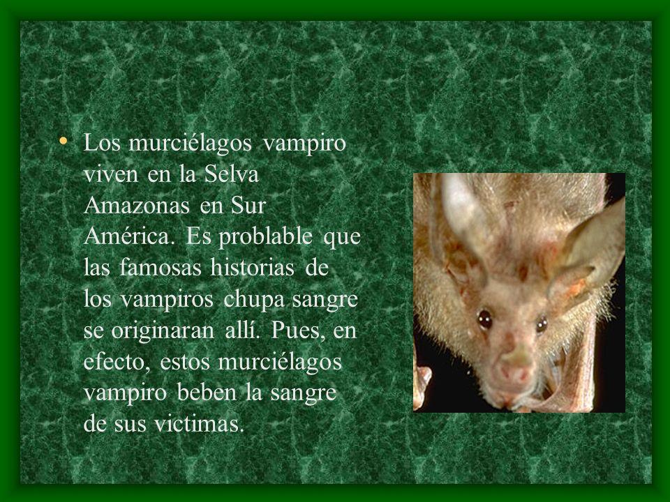 Los murciélagos vampiro viven en la Selva Amazonas en Sur América