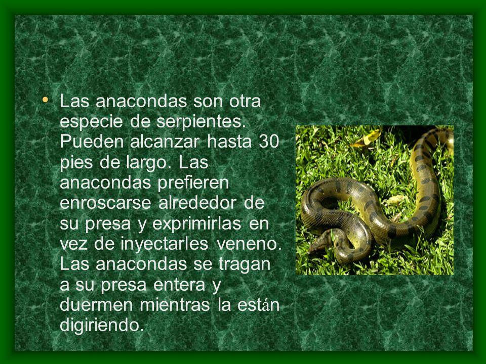 Las anacondas son otra especie de serpientes
