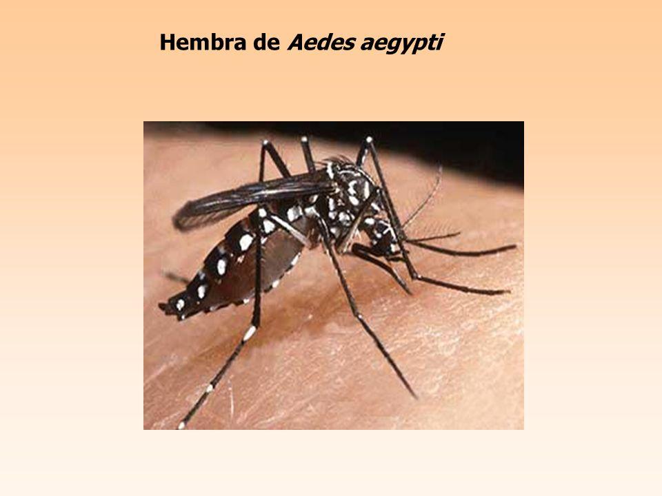 Hembra de Aedes aegypti