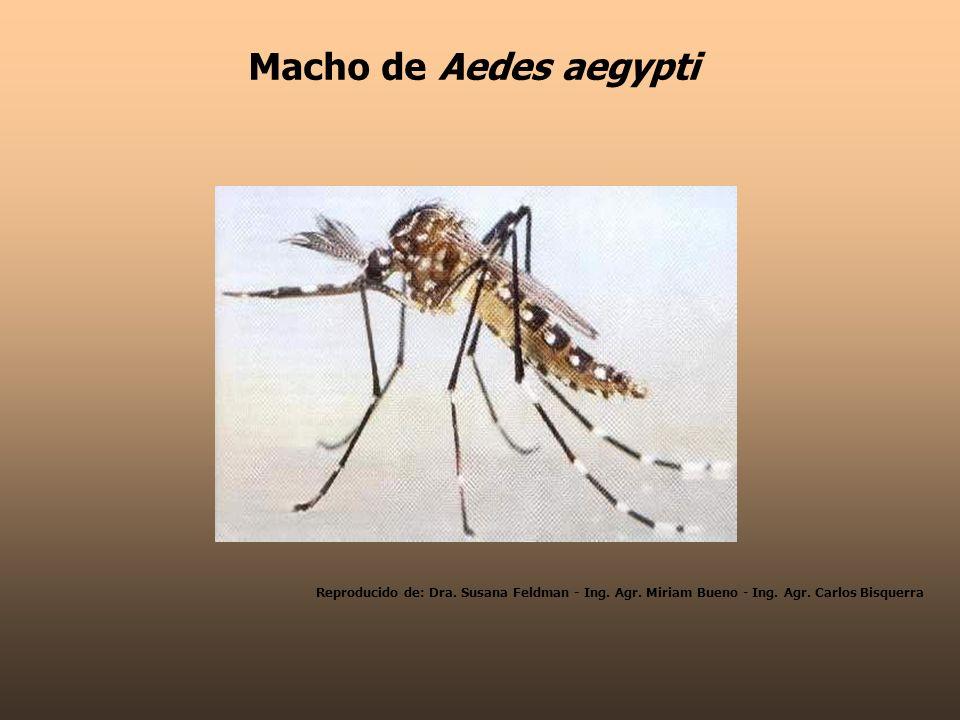 Macho de Aedes aegypti Reproducido de: Dra. Susana Feldman - Ing.