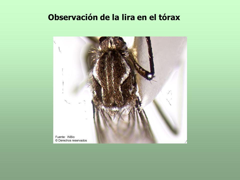 Observación de la lira en el tórax