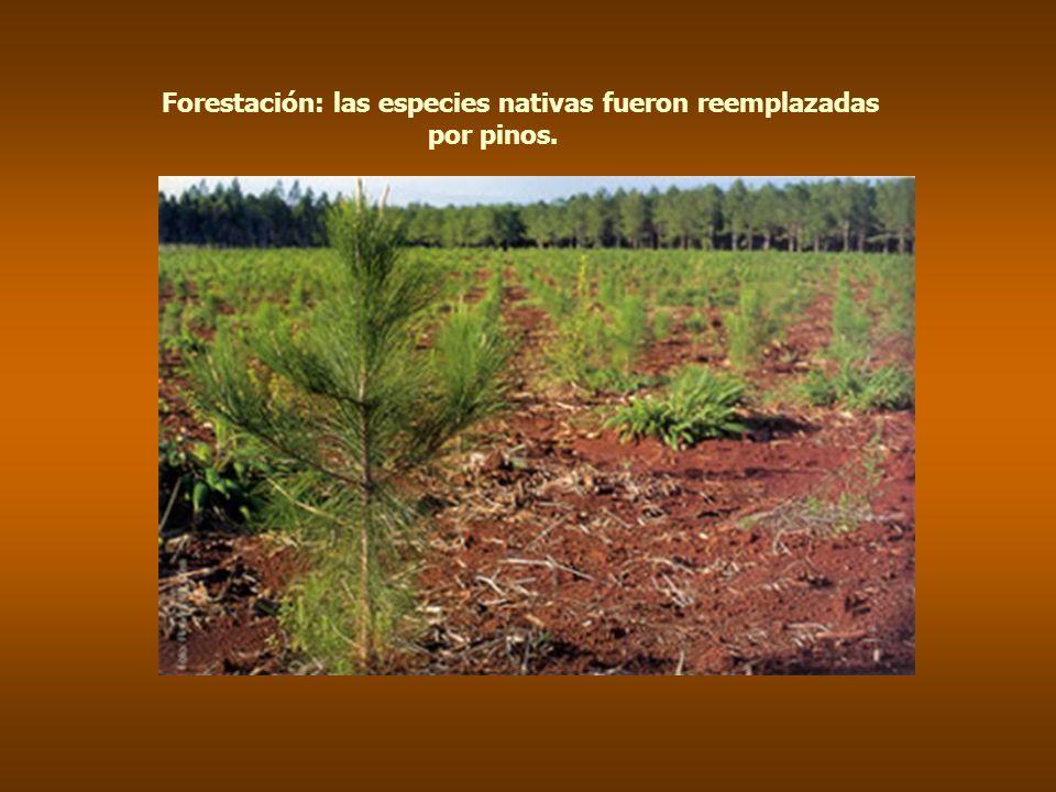 Forestación: las especies nativas fueron reemplazadas por pinos.