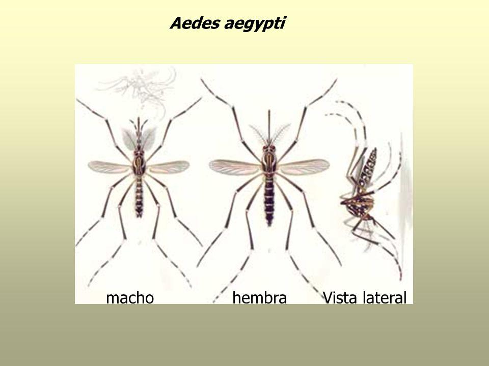 Aedes aegypti macho hembra Vista lateral