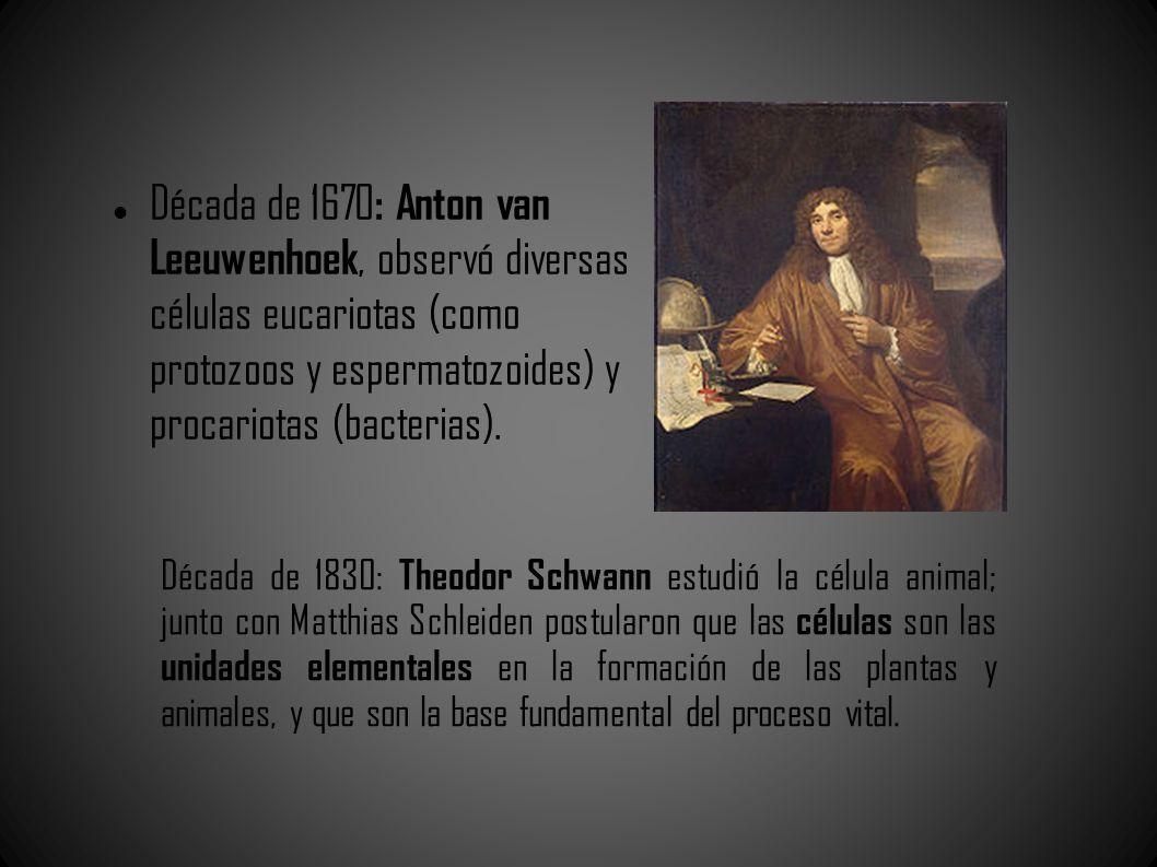Década de 1670: Anton van Leeuwenhoek, observó diversas células eucariotas (como protozoos y espermatozoides) y procariotas (bacterias).