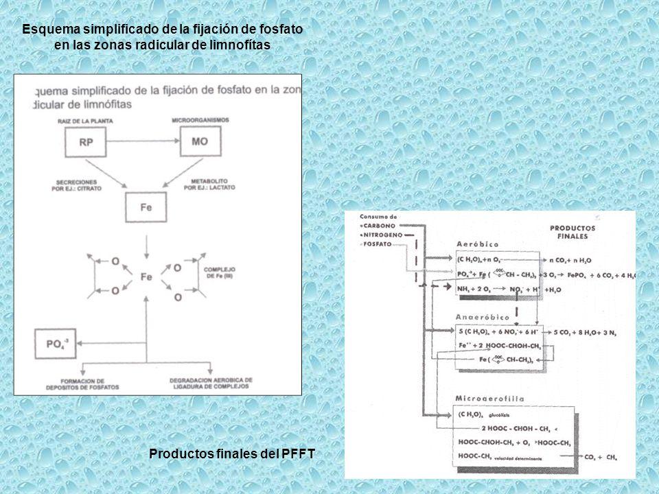 Esquema simplificado de la fijación de fosfato en las zonas radicular de limnofítas