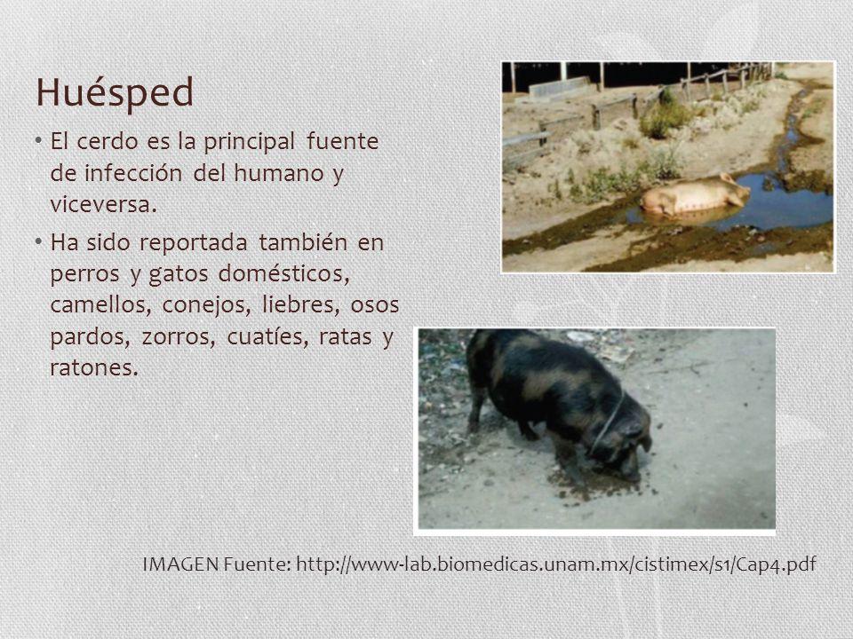 Huésped El cerdo es la principal fuente de infección del humano y viceversa.