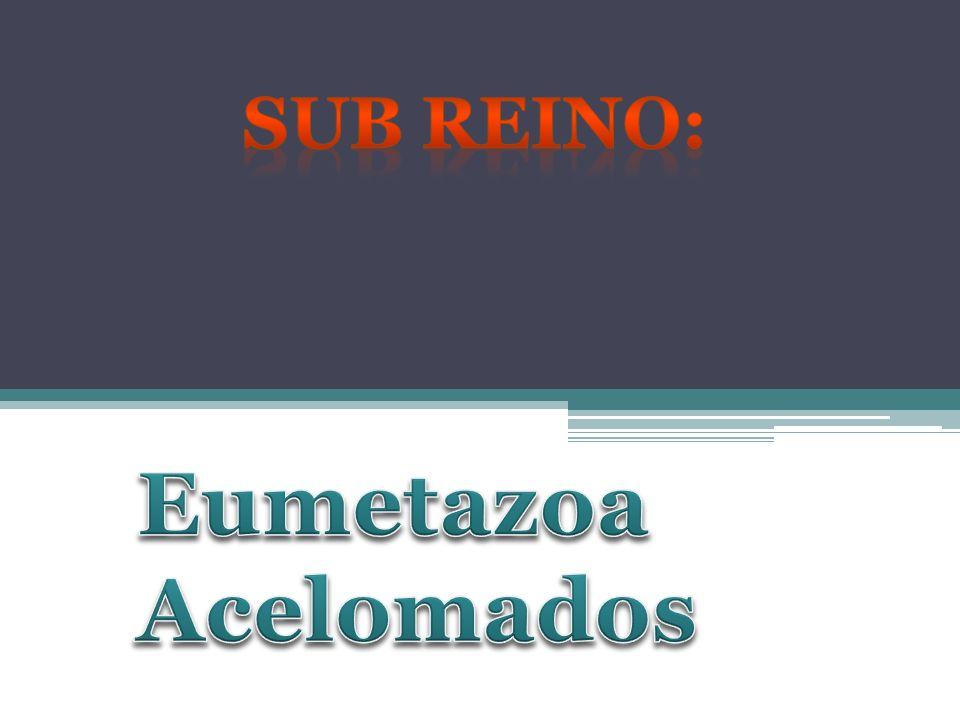 Sub Reino: Eumetazoa Acelomados