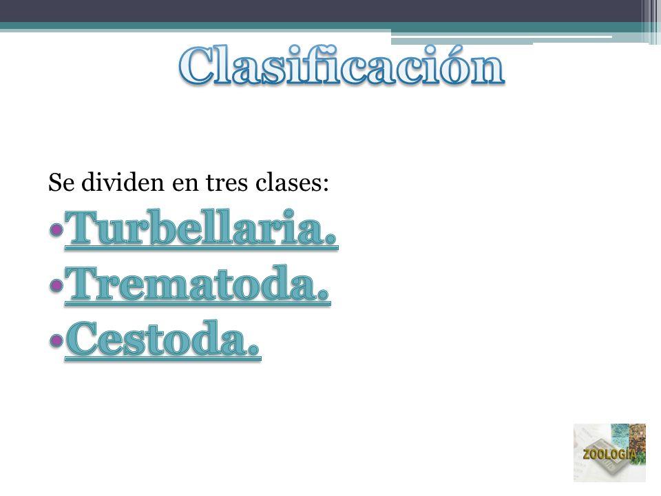 Clasificación Turbellaria. Trematoda. Cestoda.