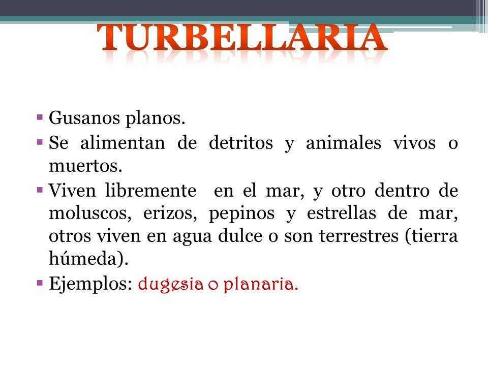 Turbellaria Gusanos planos.