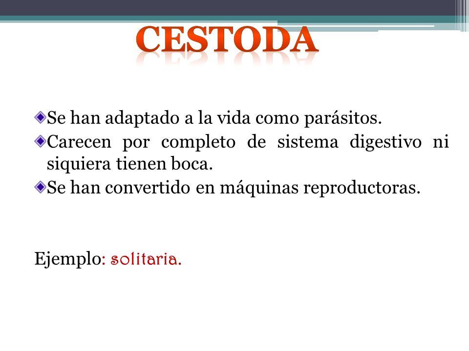 Cestoda Se han adaptado a la vida como parásitos.
