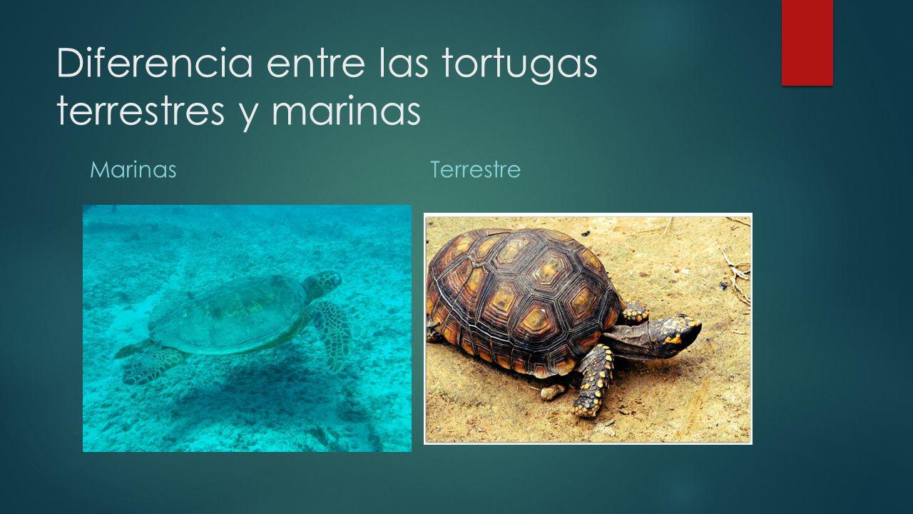 Diferencia entre las tortugas terrestres y marinas