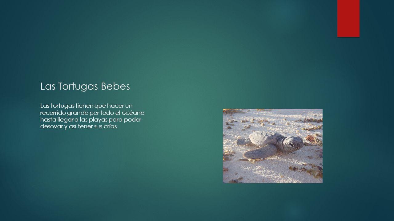 Las Tortugas Bebes