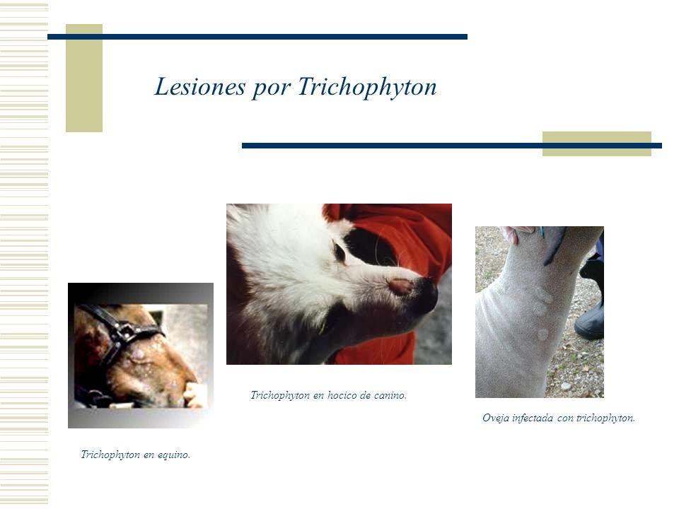 Trichophyton en equino.