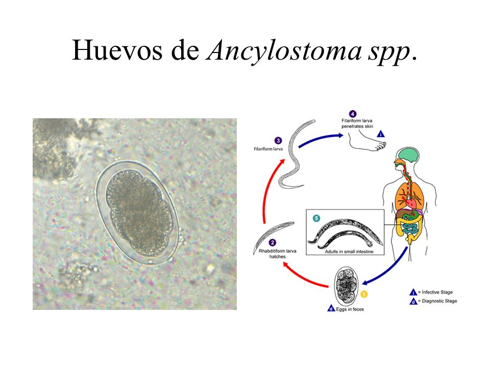 Huevos de Ancylostoma spp.