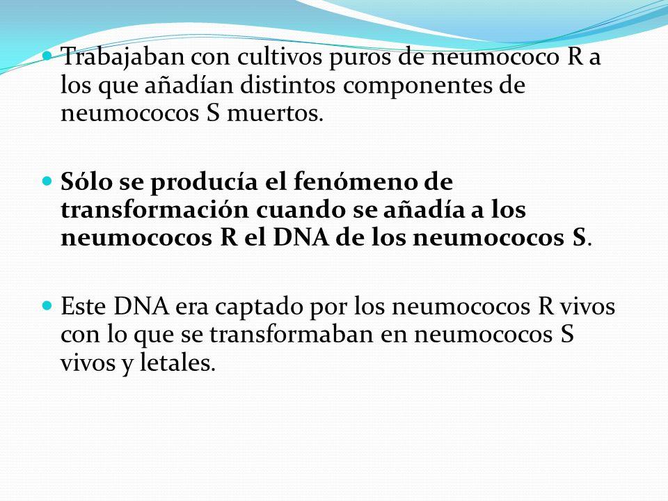 Trabajaban con cultivos puros de neumococo R a los que añadían distintos componentes de neumococos S muertos.