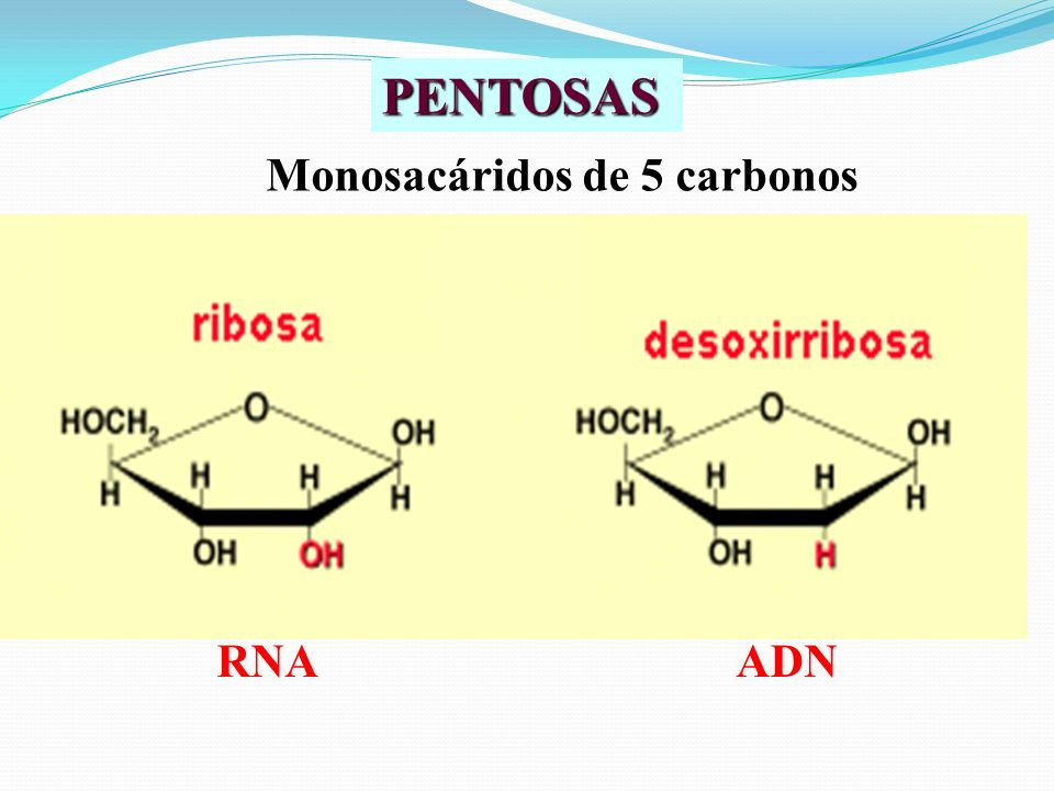 PENTOSAS Monosacáridos de 5 carbonos RNA ADN
