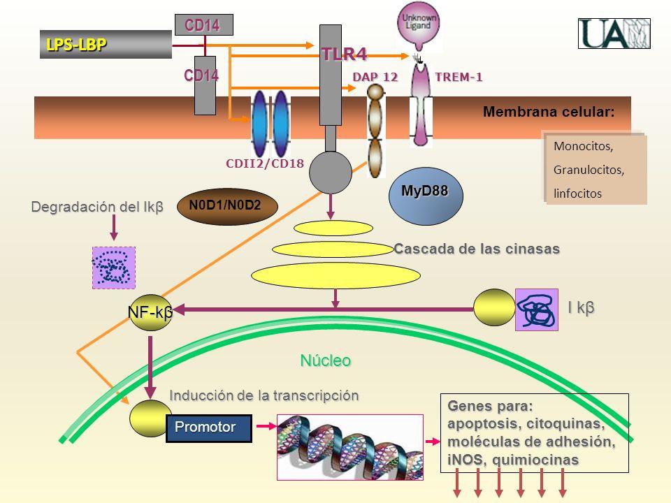 LPS-LBP CD14 TLR4 CD14 I kβ NF-kβ Núcleo Membrana celular: MyD88