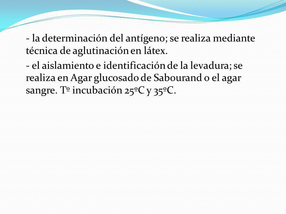 - la determinación del antígeno; se realiza mediante técnica de aglutinación en látex.
