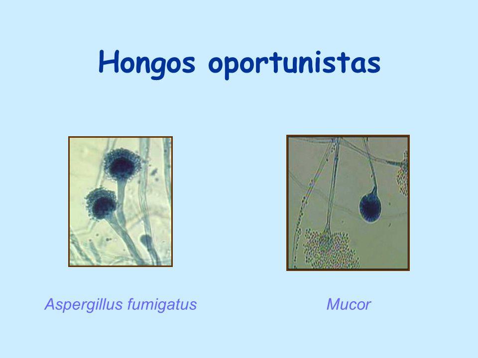 Hongos oportunistas Aspergillus fumigatus Mucor