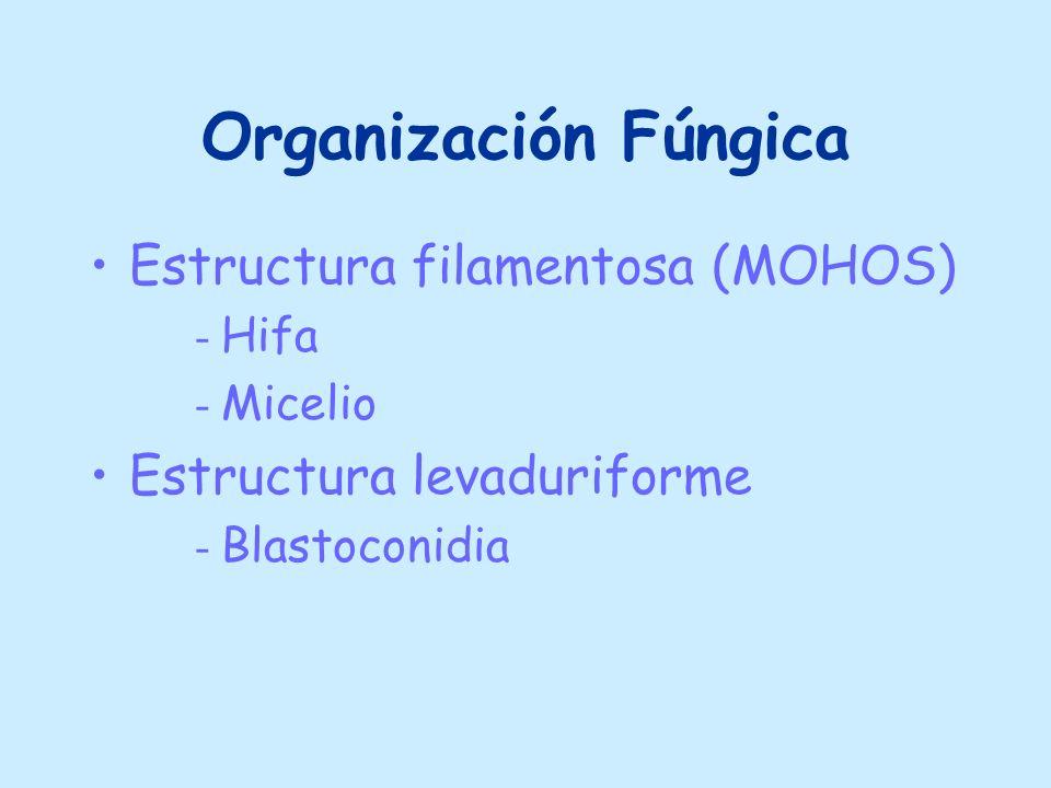 Organización Fúngica Estructura filamentosa (MOHOS)