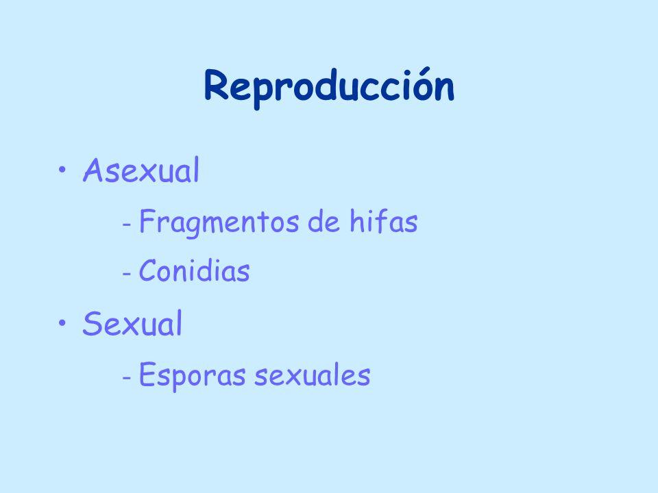 Reproducción Asexual Sexual Fragmentos de hifas Conidias