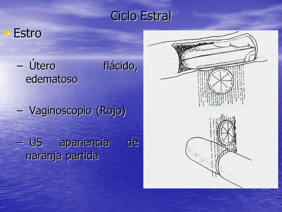 Ciclo Estral Estro Útero flácido, edematoso Vaginoscopio (Rojo)