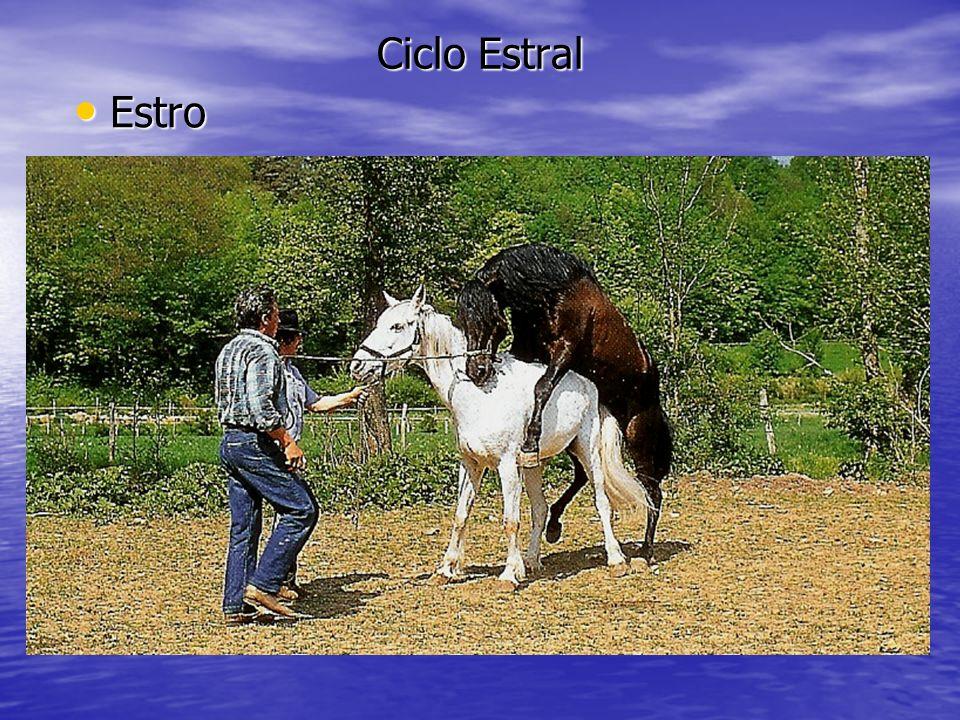Ciclo Estral Estro