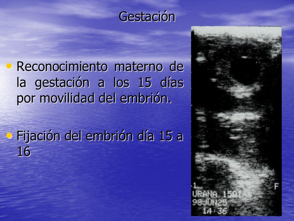 Gestación Reconocimiento materno de la gestación a los 15 días por movilidad del embrión.