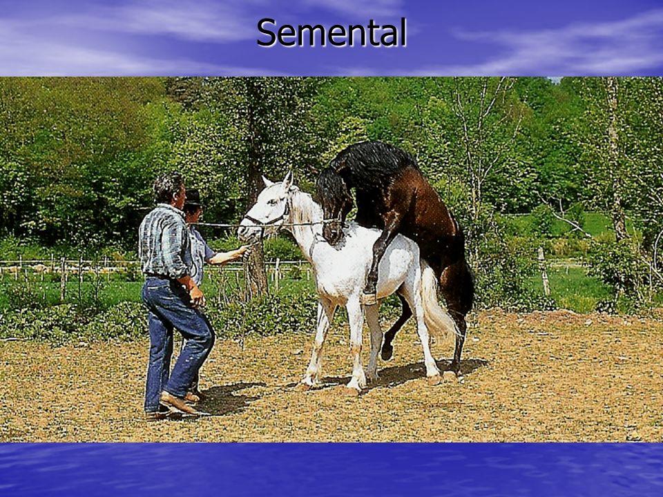 Semental