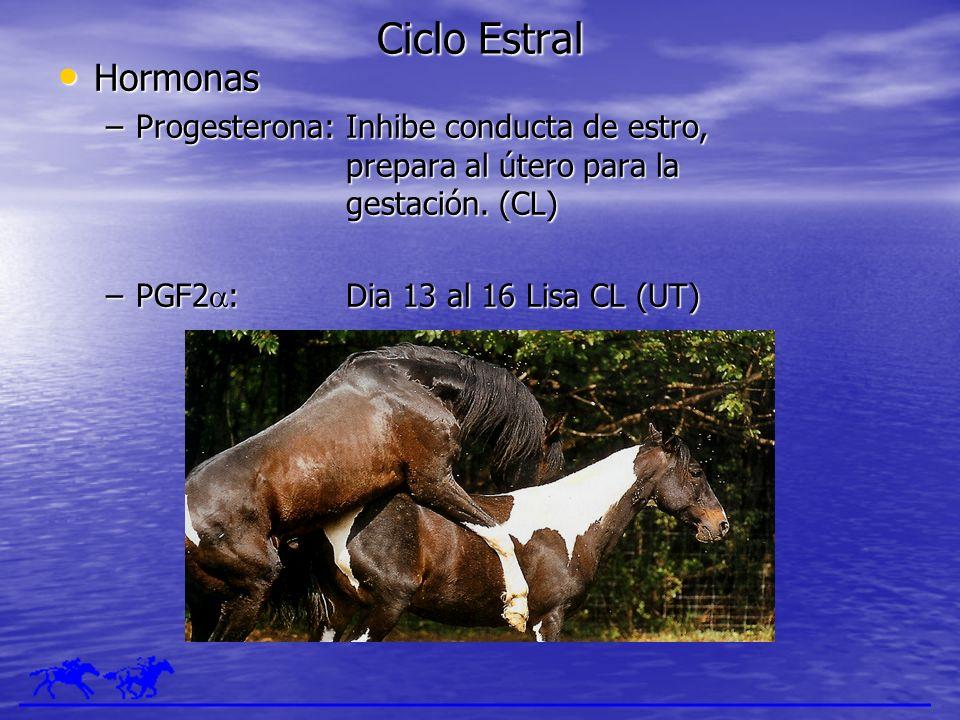 Ciclo Estral Hormonas. Progesterona: Inhibe conducta de estro, prepara al útero para la gestación. (CL)