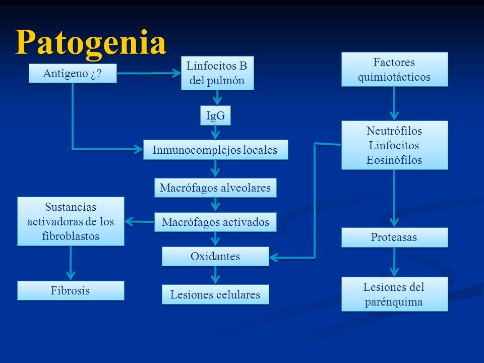 Patogenia Factores quimiotácticos Linfocitos B del pulmón Antígeno ¿