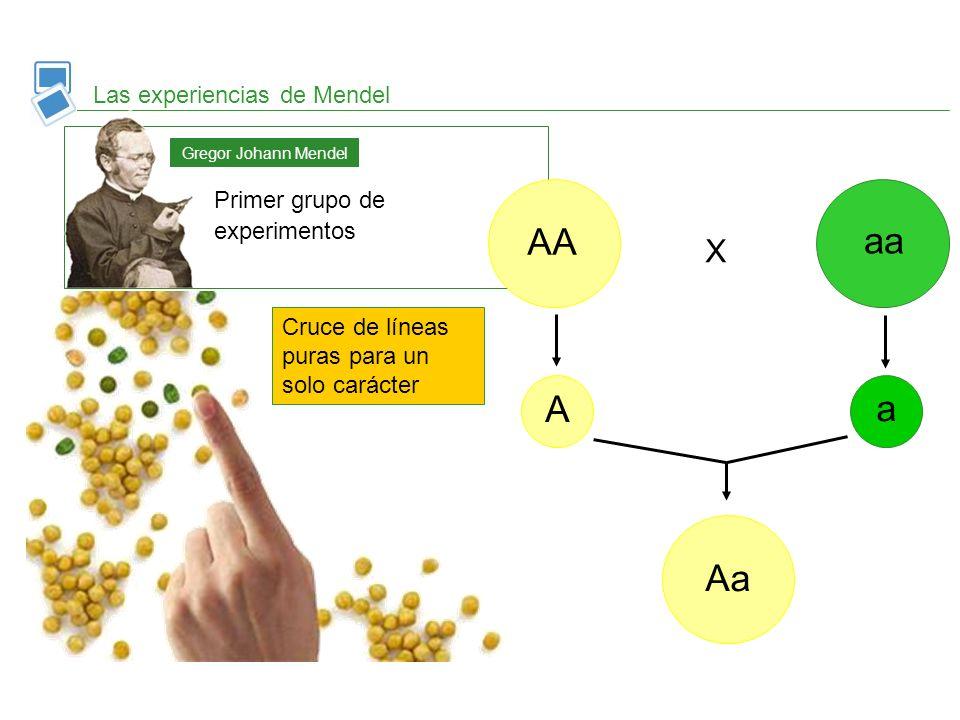 AA aa A a Aa X Las experiencias de Mendel Primer grupo de experimentos