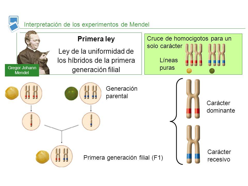 Ley de la uniformidad de los híbridos de la primera generación filial