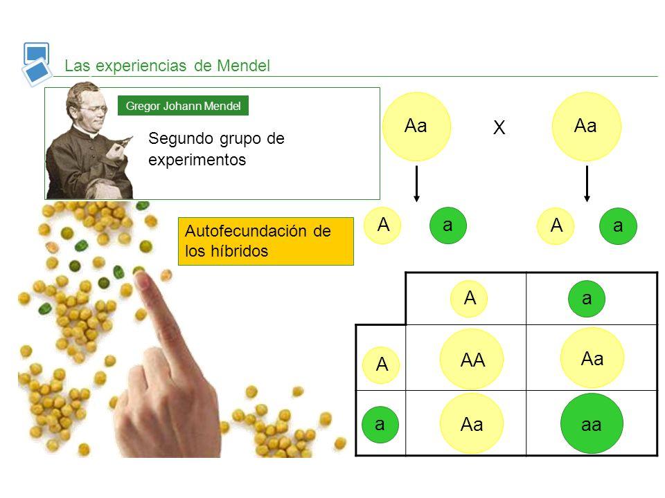 Aa Aa X A a A a A a AA Aa A Aa aa a Las experiencias de Mendel