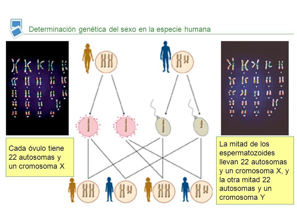 Determinación genética del sexo en la especie humana
